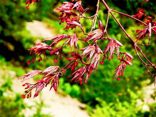 Japanese Maple New Growth New Life Bud Spring Red