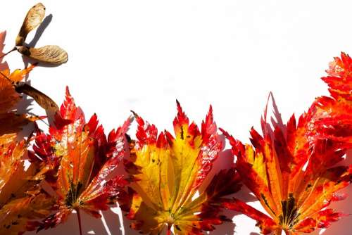 Japanese Maple Maple Leaves Leaves Hebrst