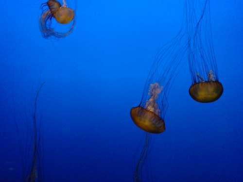 Jellyfish Sea Aquarium Sea Animals Water Animals