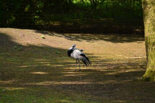 Jungfernkraniche Bird Bill Nature Animal Grey