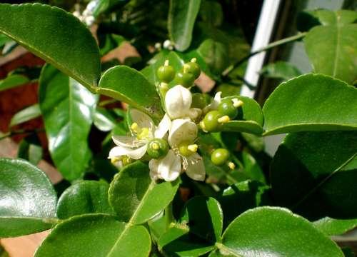 Kaffirblaetter Kaffirlimetten Citrus Citrus Fruit