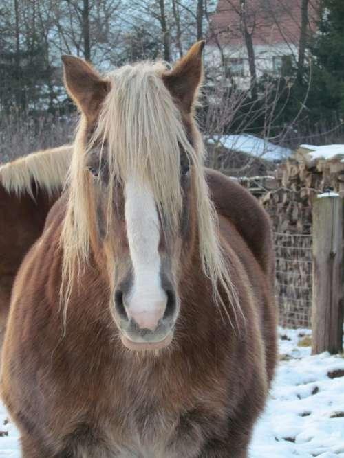 Kaltblut Horse Winter Farm