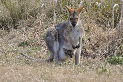 Kangaroo Wallaby Pouch Joey Wildlife Nature