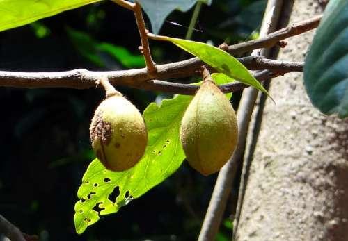 Kathalekan Marsh Nut Tree Critically Endangered