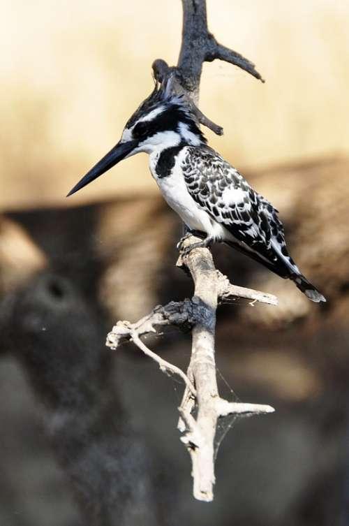 Kingfisher Bird Water Bird Animal World Water