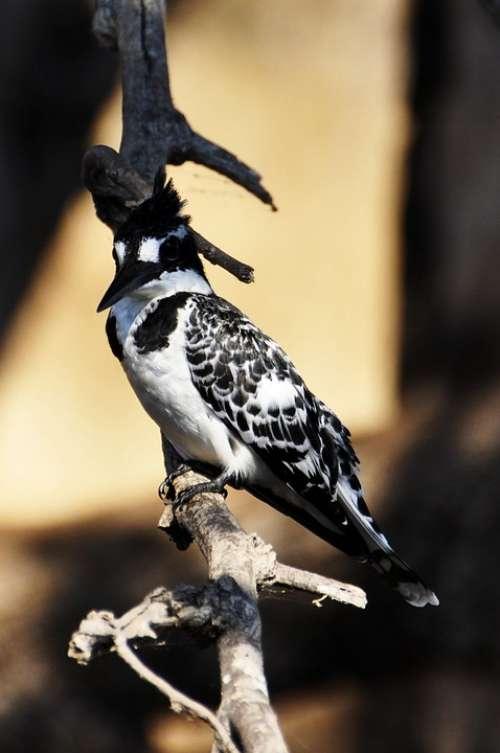 Kingfisher Bird Nature Bill White Black Branch