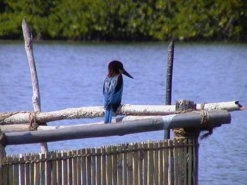 Kingfisher Blue Bird Wings Animal Wildlife