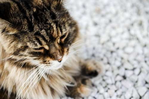Kitten Cat Sweet Animal Mustache Coat Persian