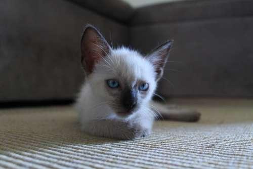 Kitten Kitty Fur Cat Pet Animal Cute Domestic