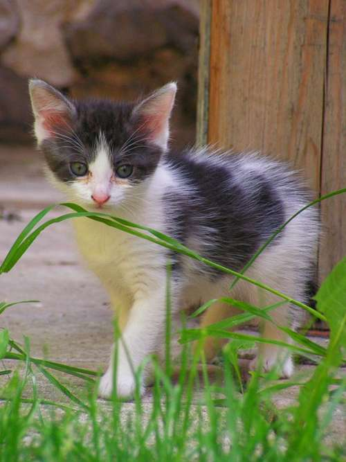 Kitten Black And White Grass Black And White Cat