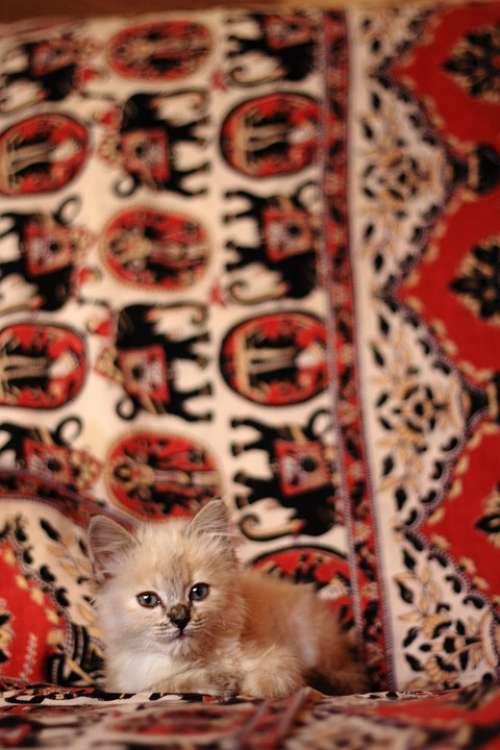 Kitten Cat Baby Small Pet Animal Pets Animals