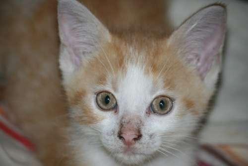 Kitten Roux Head