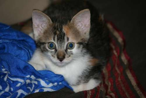Kitten Grey Head