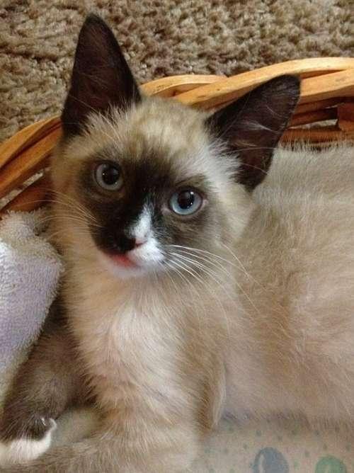 Kitten Animal Cat Pet Siamese Pets Feline