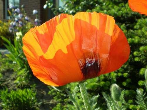 Klatschmohn Poppy Red Flower Flower Garden Garden