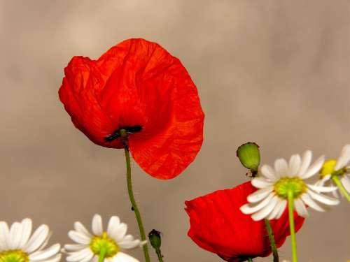 Klatschmohn Poppy Red Flower Blossom Bloom