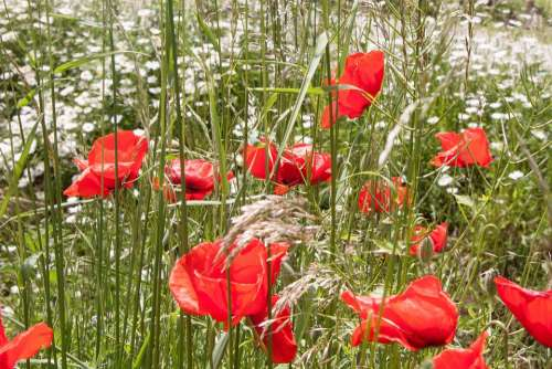 Klatschmohn Papaver Rhoeas Flower Blossom Bloom