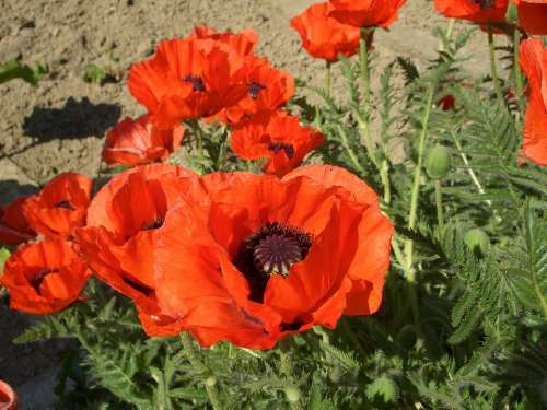 Klatschmohn Poppy Red Flowers Summer Blossom