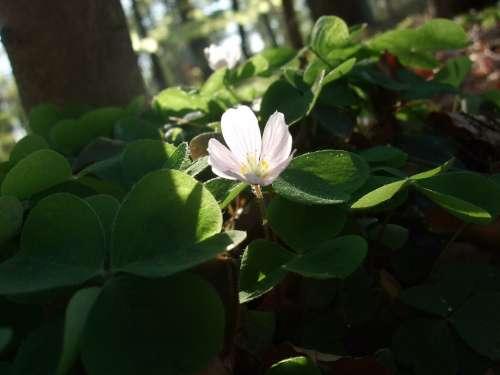 Klee Sorrel Spring Forest Green Plant Light
