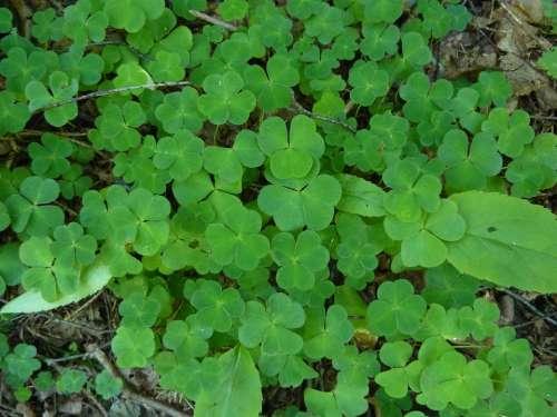 Klee Kleebblaetter Forest Floor Plant Green Leaves