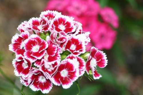 Klump Carnation Red White Carnation Carnation Flower