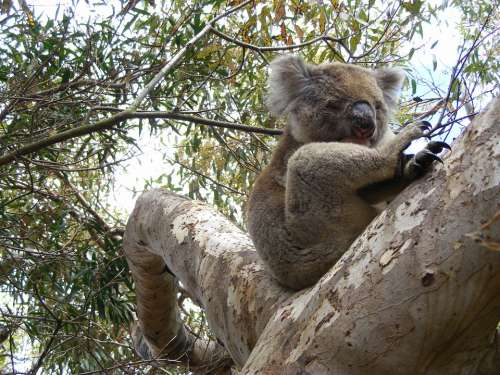 Koala Eucalyptus Sleep Koala Bear Lazy