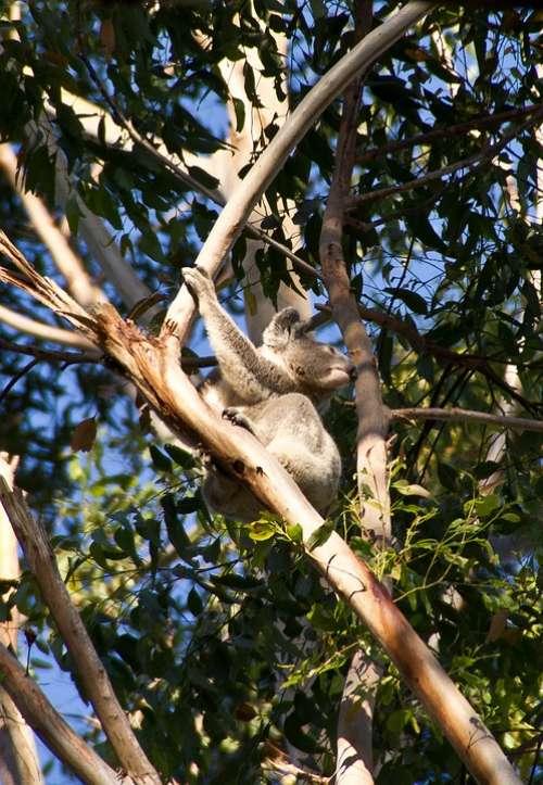 Koala Bear Australia Queensland Marsupial Wild