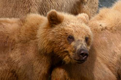 Kodiak Bear Bear Predator Animal Bears Cub