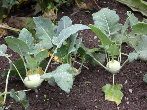 Kohlrabi Bed Vegetable Patch Vegetables Cultivation