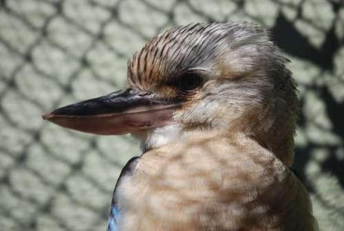 Kookaburra Australian Native Bird Beak Close-Up