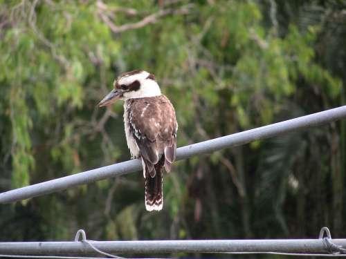 Kookaburra Australia Australian Native Bird Fauna