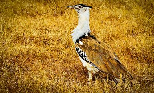 Kori Bustard Africa Tanzania Safari