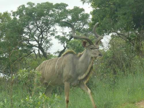Kudu Africa Animal Mammal Herbivore Male Horns