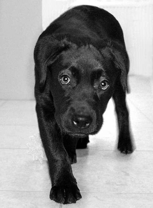 Lablador Dog Animal Black