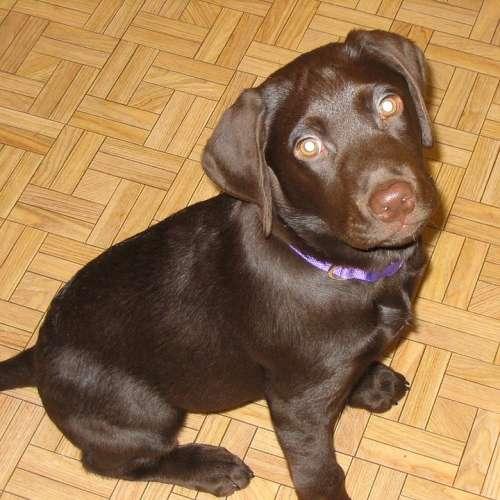 Labrador Lab Retriever Popular Breed Dog Dogs