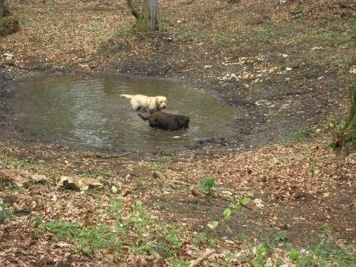 Labrador Retriever Boar