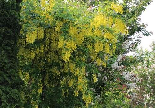 Laburnum Flowers Yellow