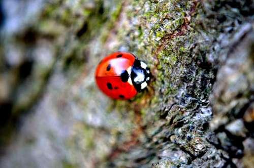 Ladybird Macro Insect Animal Red Blue Season