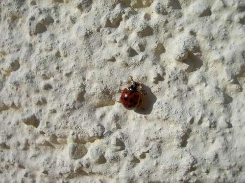 Ladybug Insect Beetle Wall Crawl