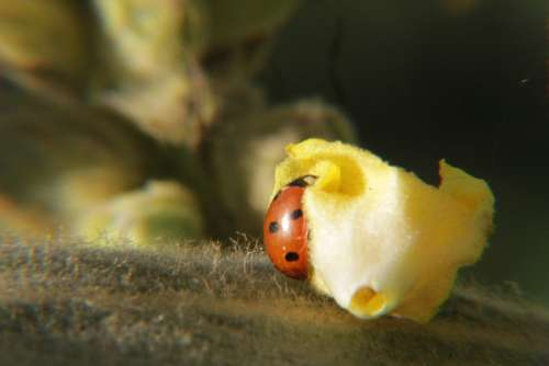 Ladybug Lucky Charm Aphids Scale Insects