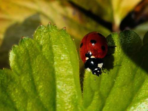 Ladybug Leaf Beetle Red Points Lucky Charm Insect
