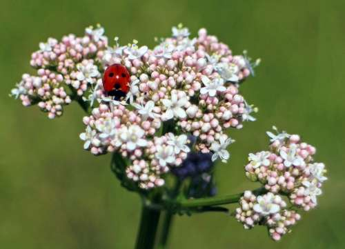 Ladybug Blossom Bloom Beetle Nature Flower Insect