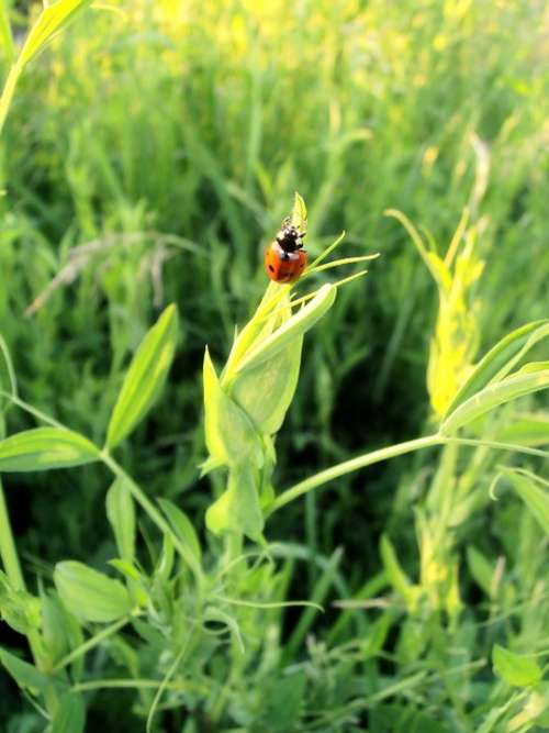 Ladybug Beetle Tipster Summer Insect Insects Red