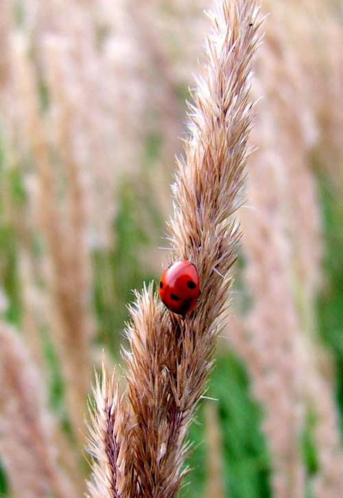 Ladybug Grass Meadow Blade Of Grass Grain