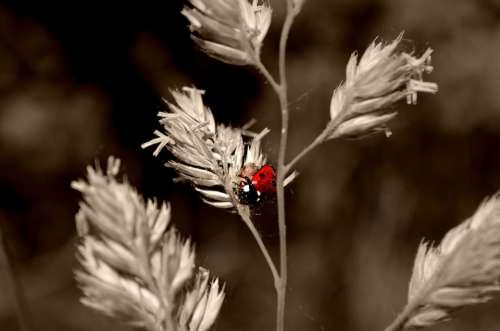Ladybug Macro Nature