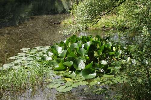 Lake Pools Biotope Water Lilies Nuphar