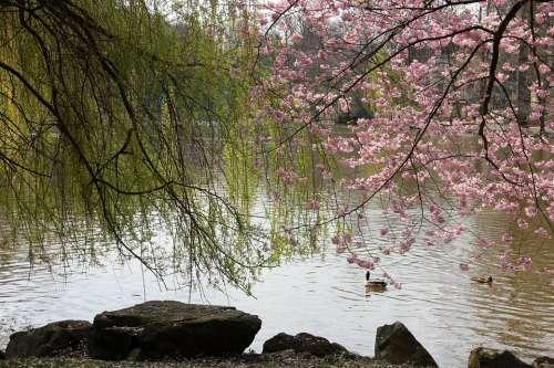 Lake Pond Water Spring Bank Tree Trees Blossom