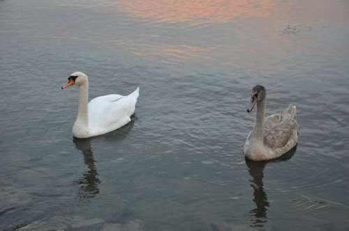 Lake Balaton Swan Water