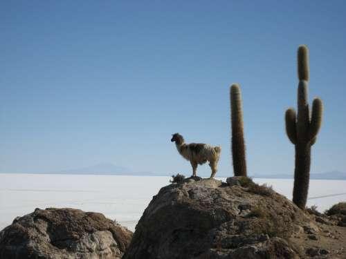 Lama Salar De Uyuni Bolivia