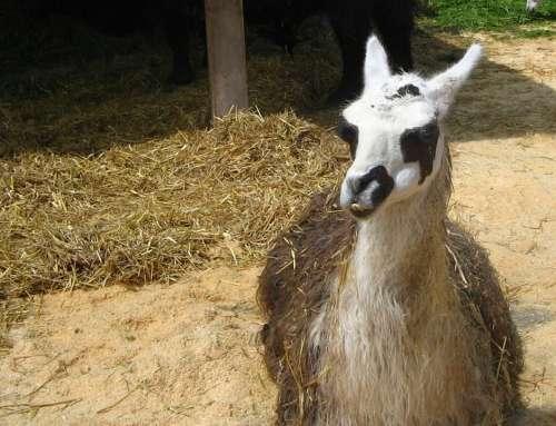 Lama Zoo Farm Animal Stall